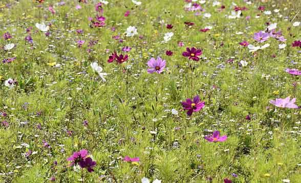 Gazon japonais : Comment le semer ? Comment l'entretenir ? Des photos