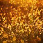 Photo de graminées dans un jardin