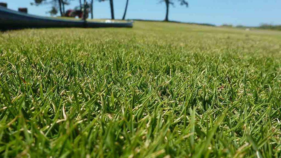 L'herbe des Mascareignes (Zoysia tenuifolia)