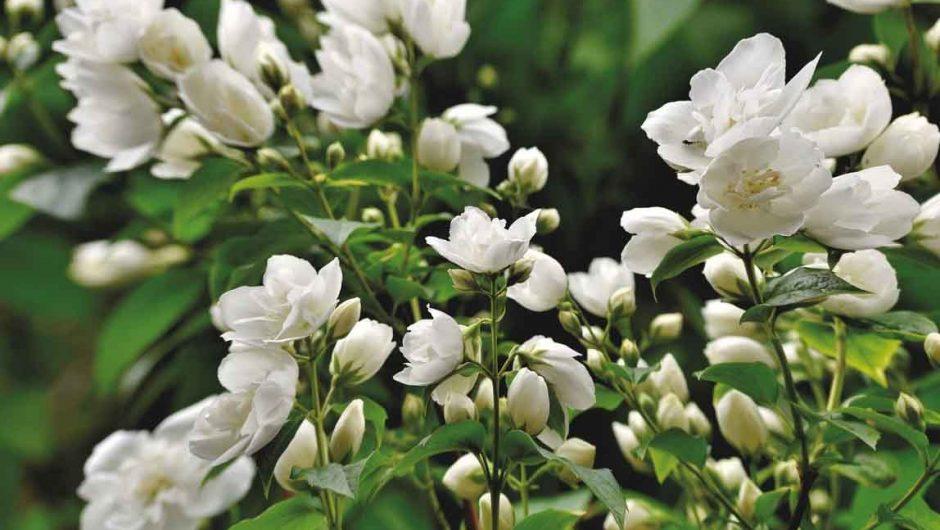 des plantes de jasmin