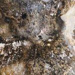 Mérule sur vos murs : un champignon synonyme de danger pour votre maison